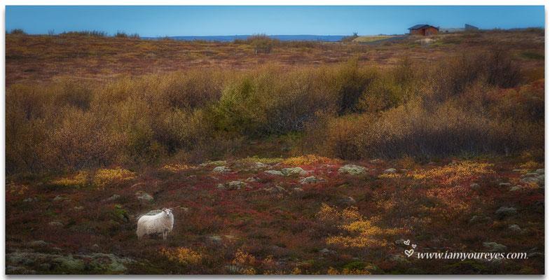 Een schaap in het herfstlandschap