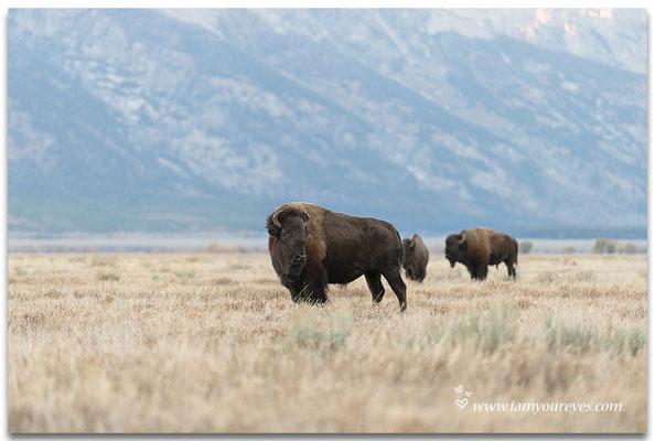 Bizons in de buurt van Blacktail Butte