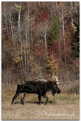 Eland naast de Moose-Wilson Road