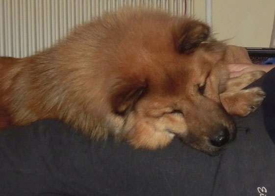 """Bia, mein """"kleiner Schoßhund"""" hat sich´s auf mir gemütlich gemacht ;-)))"""