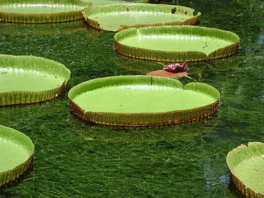 Giardino di Pamplemousse- Mauritius