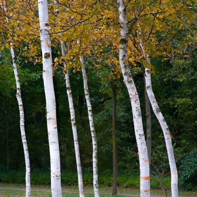 Birch trees, Potsdam