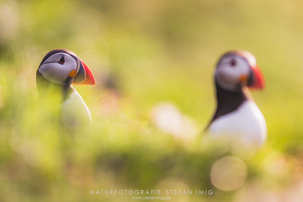 20180615-Two Puffins in the Morning-5006255