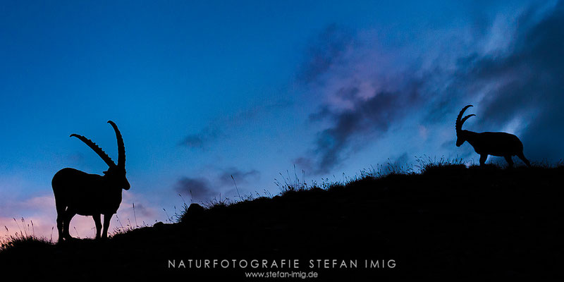 20120810-Alpensteinbock Silhouette-7005827