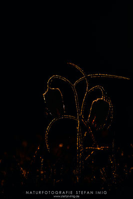 20140417-Schachblumen Silhouette-8023549
