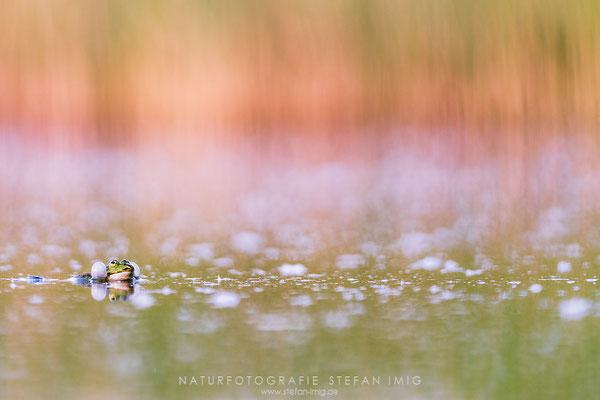 20170528-Croaking Frog-7415