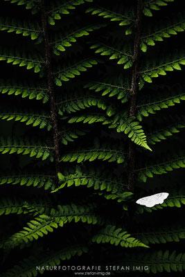 20150517-Moth on Fern-2154