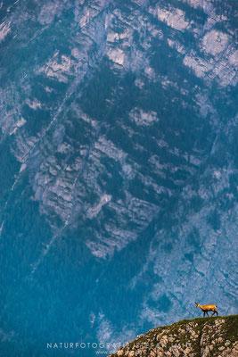 20150717-Gams vor Felswand-7617