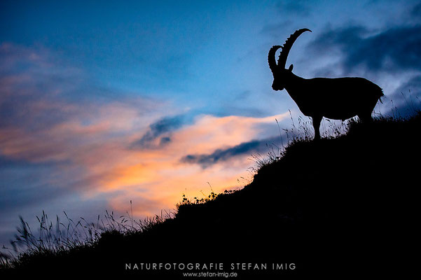 20120810-Alpensteinbock Silhouette-7005795