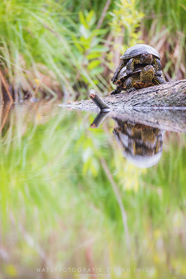 20170506-Europäische Sumpfschildkröte-6068
