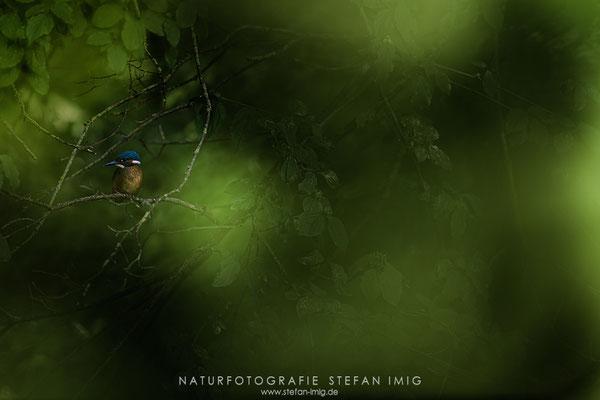 20200620-Eisvogel im Unterholz-8518748
