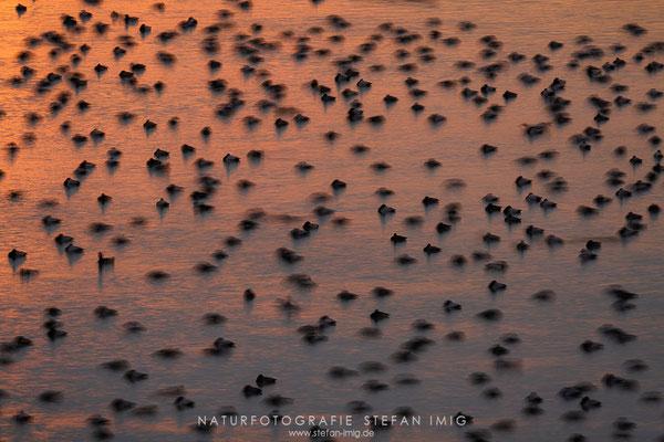 20191124-Enten auf dem Bodensee-4798