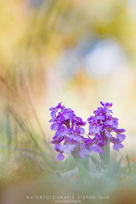 20140416-Orchis Morio-8008607