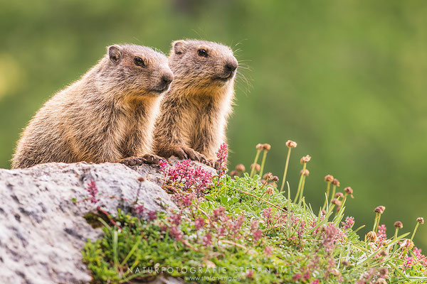 20150720-Two Marmots-8427