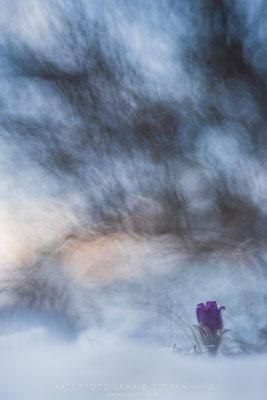20180319-Kuhschelle im Schnee-7500055