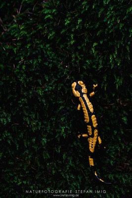 20171023-Fire Salamander-7509185