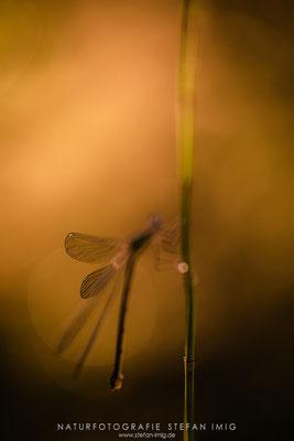 20200730-Libelle am Morgen-3119