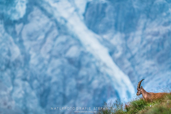 20180808-Ibex in front of a Glacier-8501879