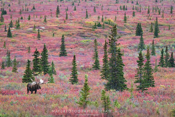 20140830-Moose in Denali-8028640