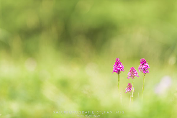 20180522-Pyramiden-Orchis-8501582