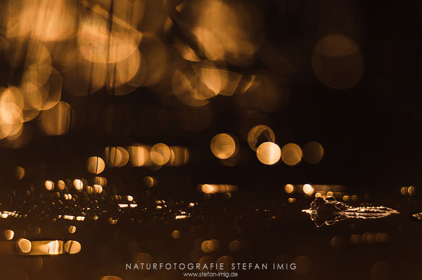 20130414-Erdkröte im Abendlicht-8003804
