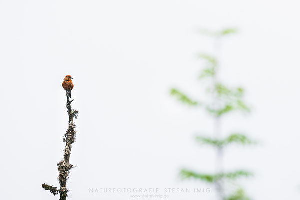 20150802-Crossbill on the Top-3681