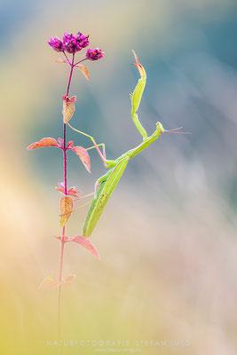 20160820-Mantis Religiosa-8701