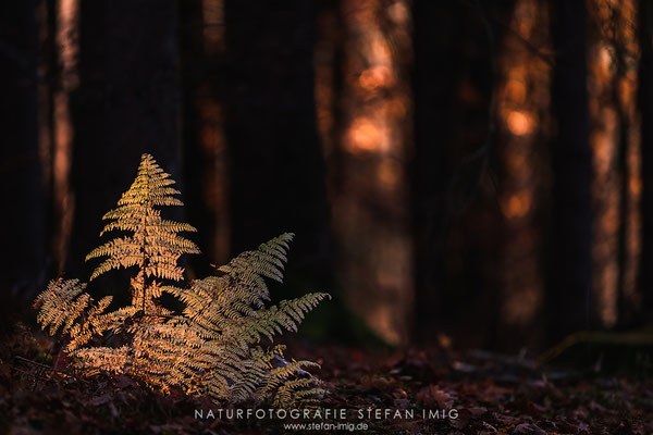 20181118-Glowing Fern-8501178