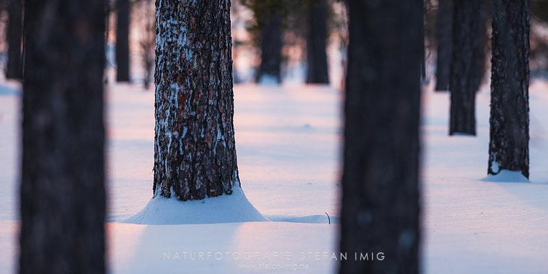 20150211-Stämme im Schnee-4840