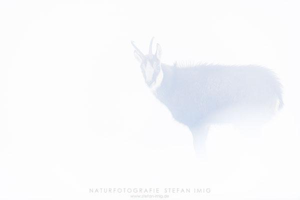 20191120-Gams im Nebel-4138