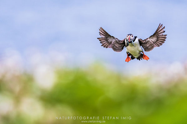 20180606-Puffin incoming-5003429
