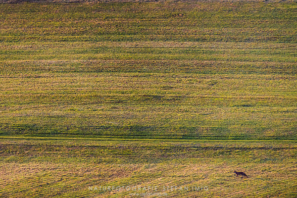 20200521-Fuchs in einem Feld-8515672
