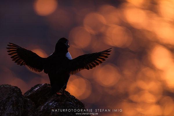 20190603-Papageitaucher im Abendlicht-8500900