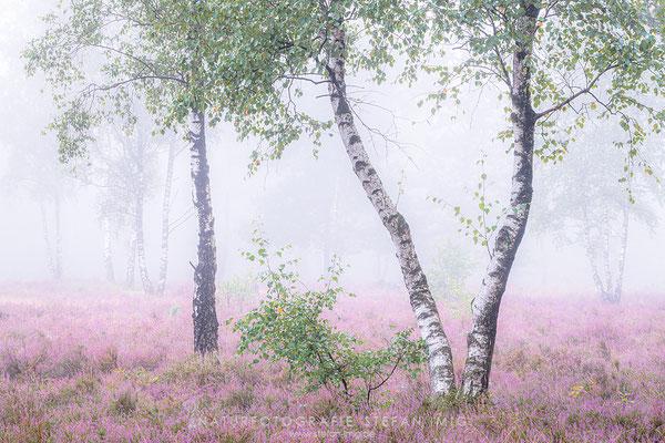 20200825-Birken im Nebel-8514162