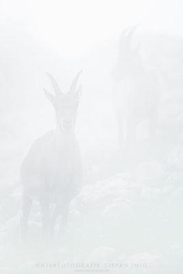 20150720-Steinböcke im Nebel-8506