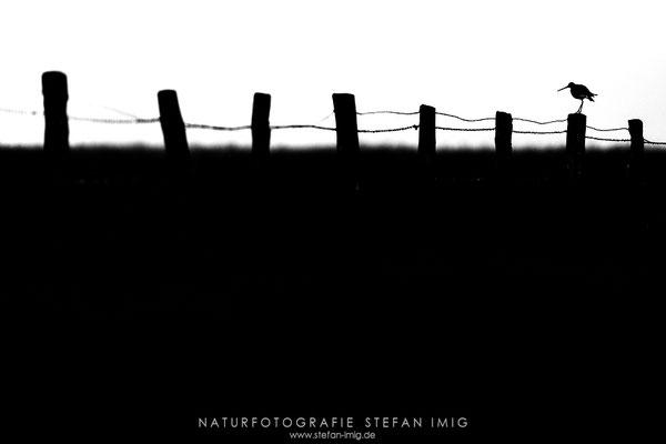 20190429-Uferschnepfe-8500394