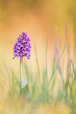 20160507-Orchis in Evening Light-5000867