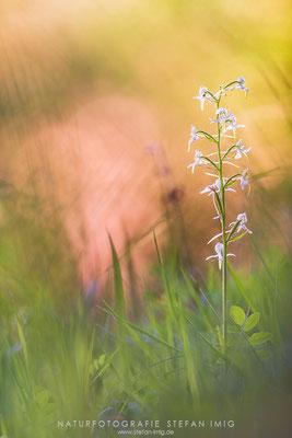 20140520-Grünliche Waldhyazinthe-8029225