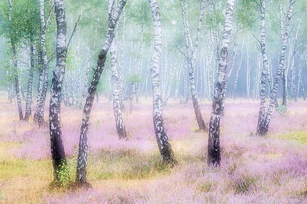 20200825-Nebel im Birkenwald-8514242
