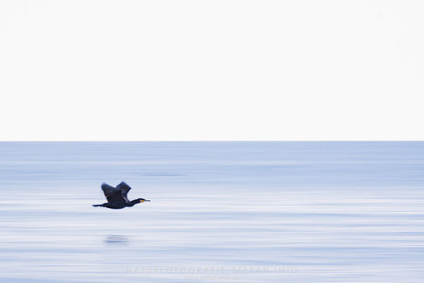20171021-Cormorant Flying low-5249
