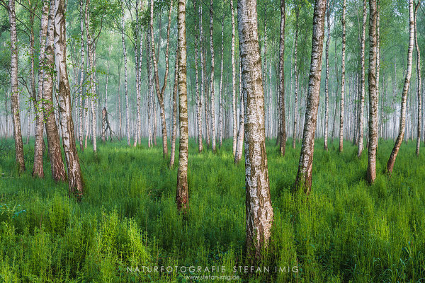 20140514-Moor Birches-8009787