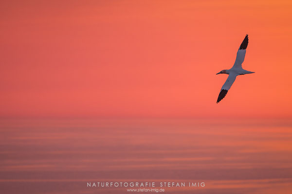 20180418-Gannet in the Evening-8507680