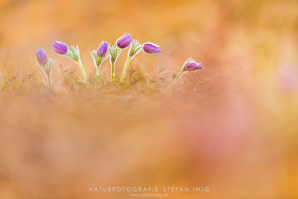 20140313-Pasque Flower-8006336
