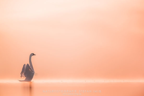 20181012-Swan on a misty Lake I-0926