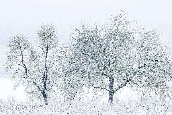 20201201-Falke im Winter-8518506