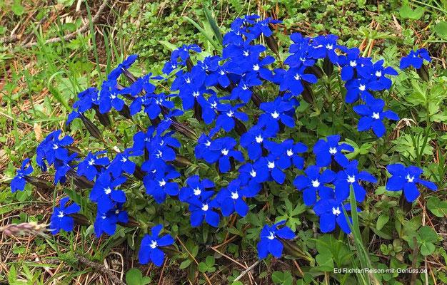 Blauer Enzian steht auf der Roten Liste und darf nicht gepflückt werden