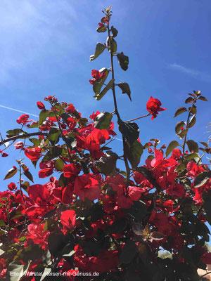 Wunderschön: Überall im Resort blüht Bougainville