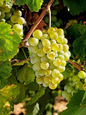 Verdejo: Die Trauben sind klein und schimmern reif fast goldgelb