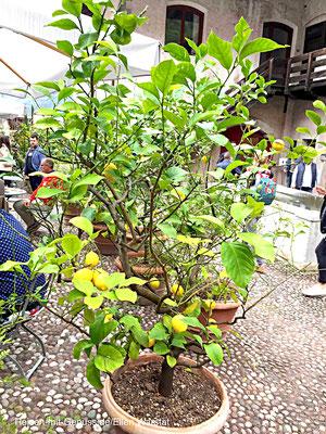 Mediterranes Flair: Zitronenbäumchen begrenzen die Terasse vom Restaurant des Weinguts