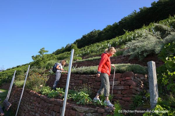 Der Kräutergarten in den Weinbergen bei Klingenberg. Hier darf sich jeder an den Pflänzchen für die eigene Küche bedienen